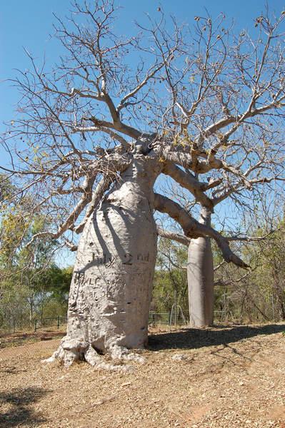 Gregory baobab