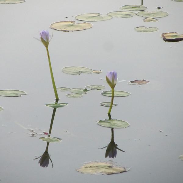 mamukala lilie