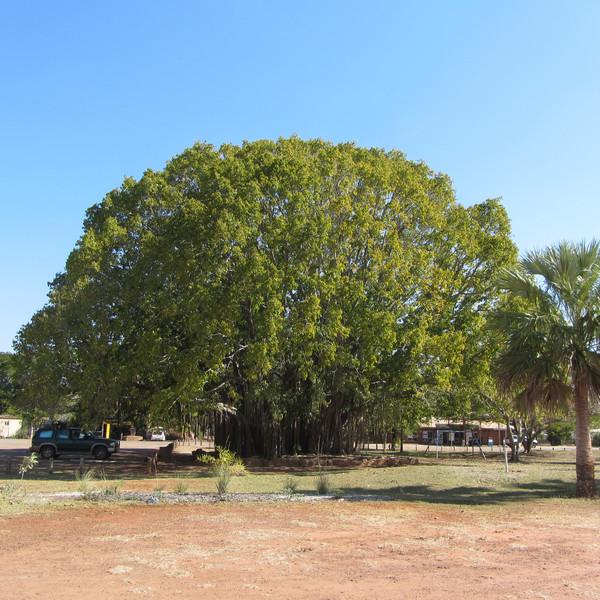 Mataranka strom poznani