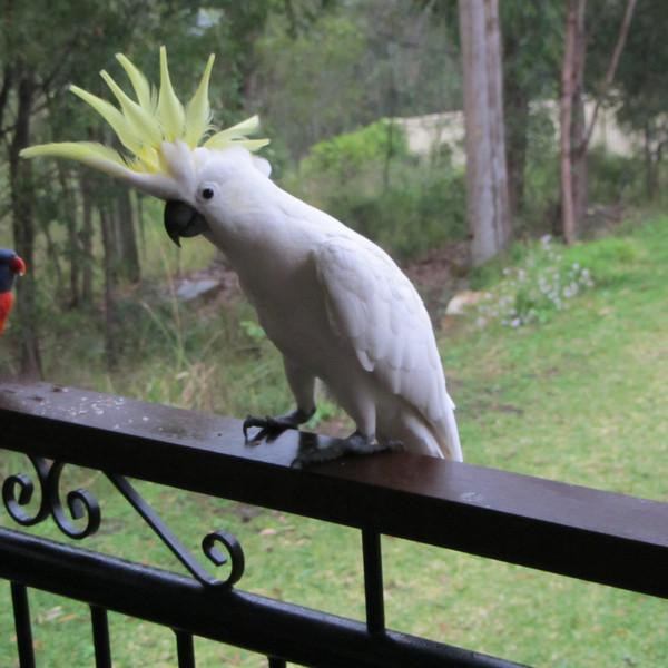 papousci1